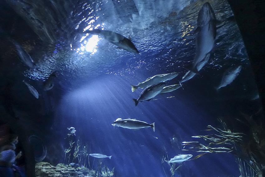 Ozeaneum Stralsund Tunnelaqarium mit Fischen