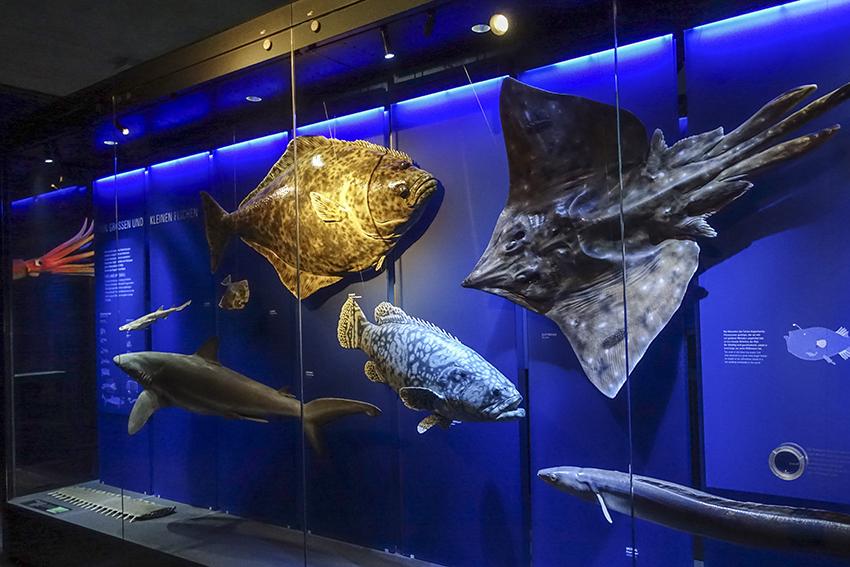 Ozeaneum Stralsund Fisch Präparate in Vitrine